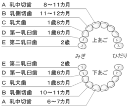 乳歯の構造